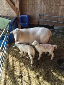 Ewe with twins March16
