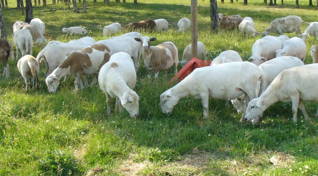 Spring 2013 ewe yearlings that raised lambs in 2014.  Photo taken Fall of 2014.